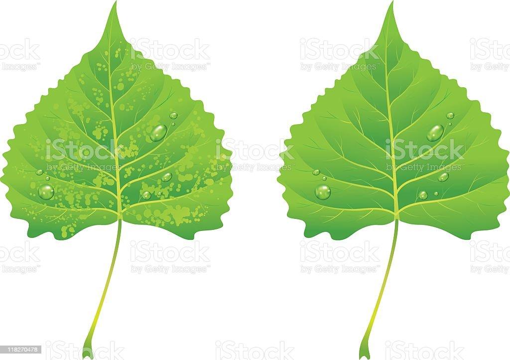 Green Poplar Leaves royalty-free stock vector art