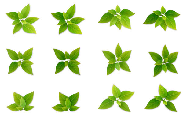 Green realistis leaf set. Green leaf set. Leaves of tea or tree. Part of the plant for the design of illustrations on the theme of ecology and healthy eating. Realistic vector, isolated on a white background. exodus stock illustrations