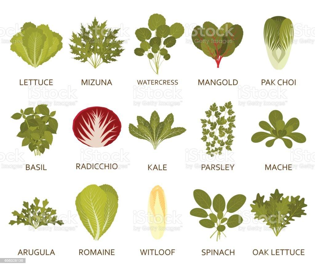 Plantas de salada verde isoladas no fundo branco. Ilustração em vetor. - ilustração de arte em vetor