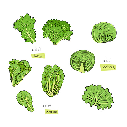 Green salad set leaves draw iceberg on white background. Design element. Vector sketch isolated illustration. Hand drawn cooking food.