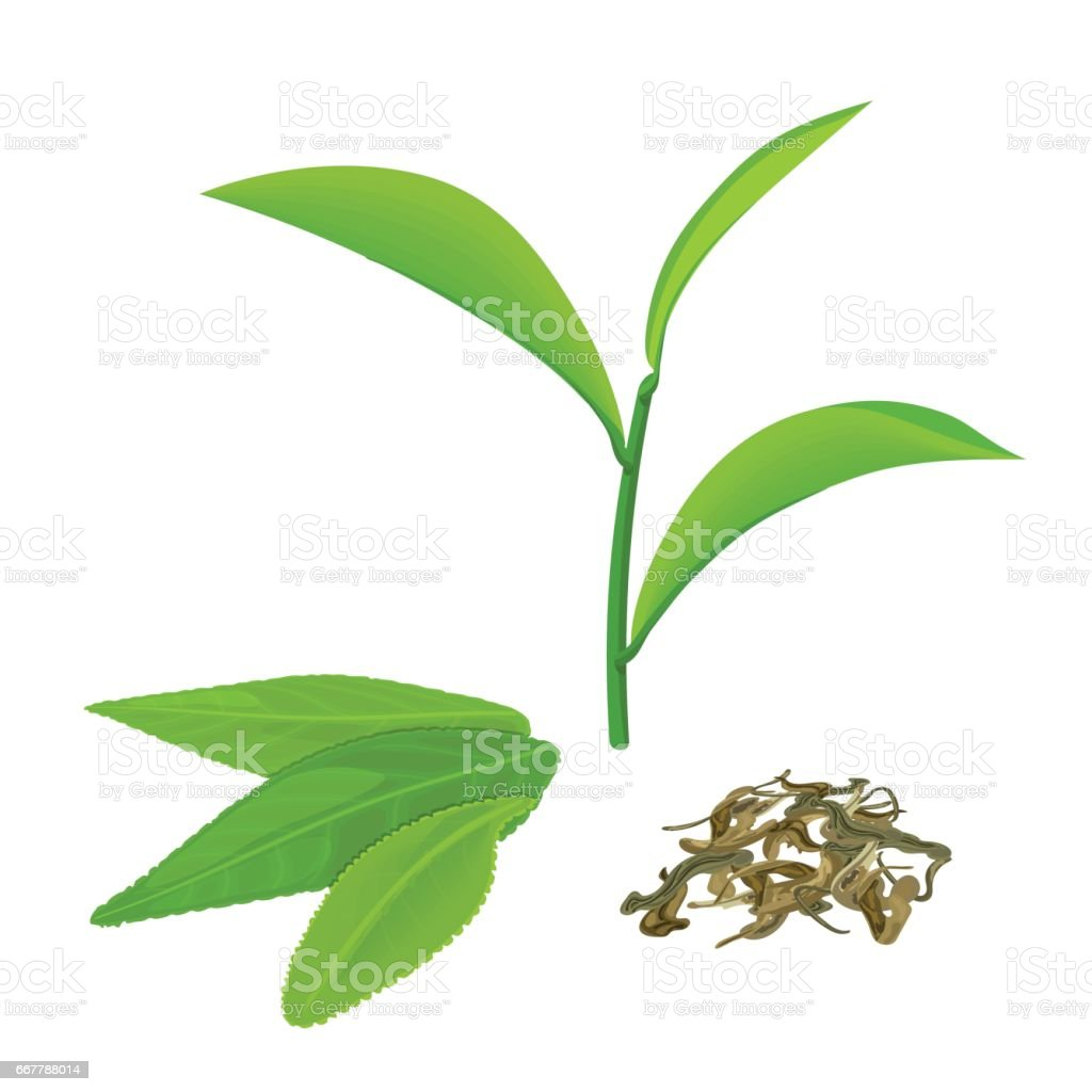 Green tea leaves and twig, fermented tea, isolated on white background vector art illustration