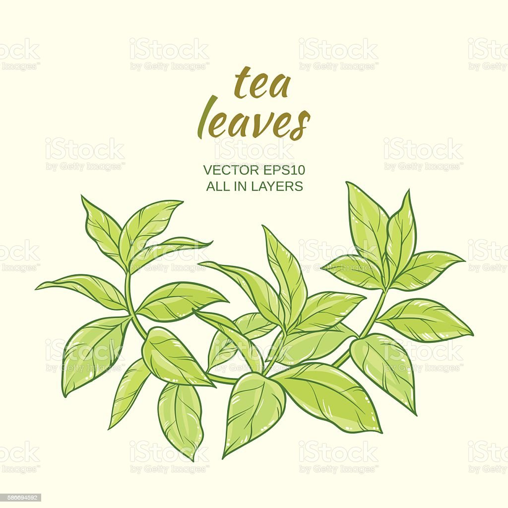 Green Tea Leaves stock vector art 586694592 | iStock