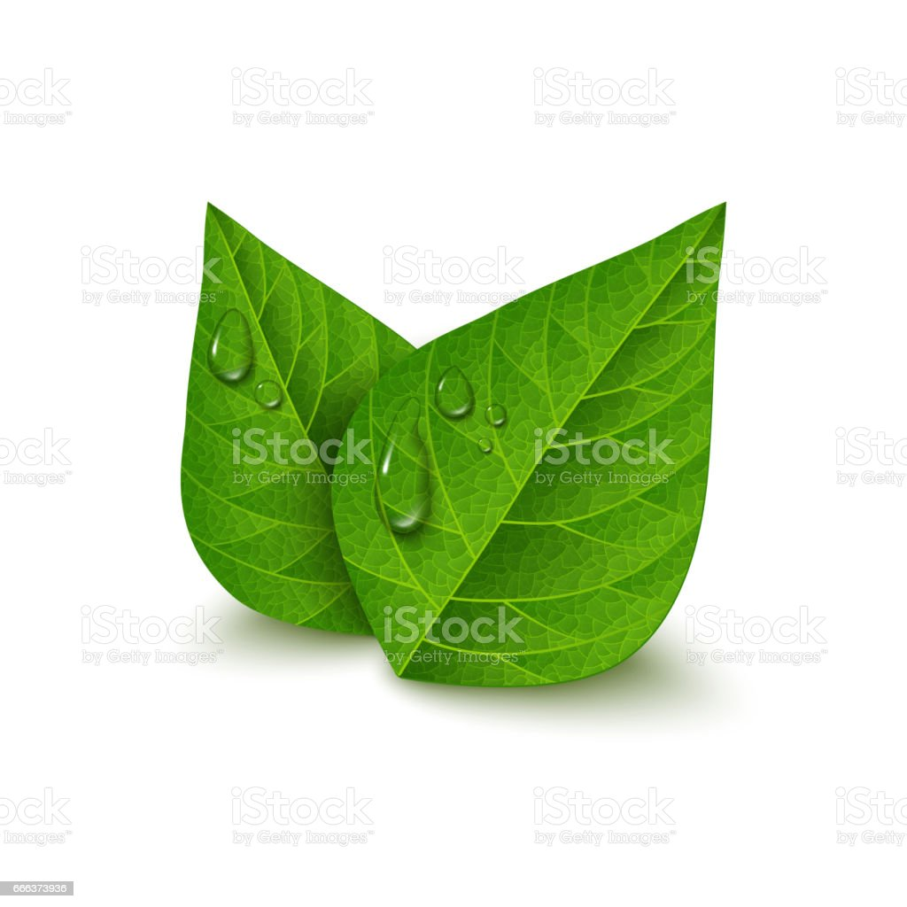 Green tea leaves with water drops vector art illustration