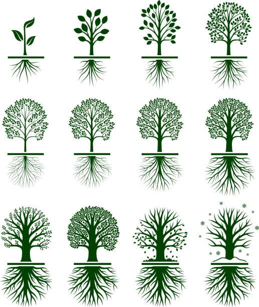 Green Tree Growing in nature vector icon set Tree Growing royalty free vector interface icon set. This editable vector file growing tree icons icons on white Background. The interface icons are organized in rows and can be used as app interface icons, online as internet web buttons, and in digital and print. root hair stock illustrations