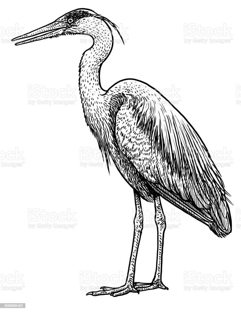 Grey, common heron illustration, drawing, engraving, ink, line art,   vector - illustrazione arte vettoriale