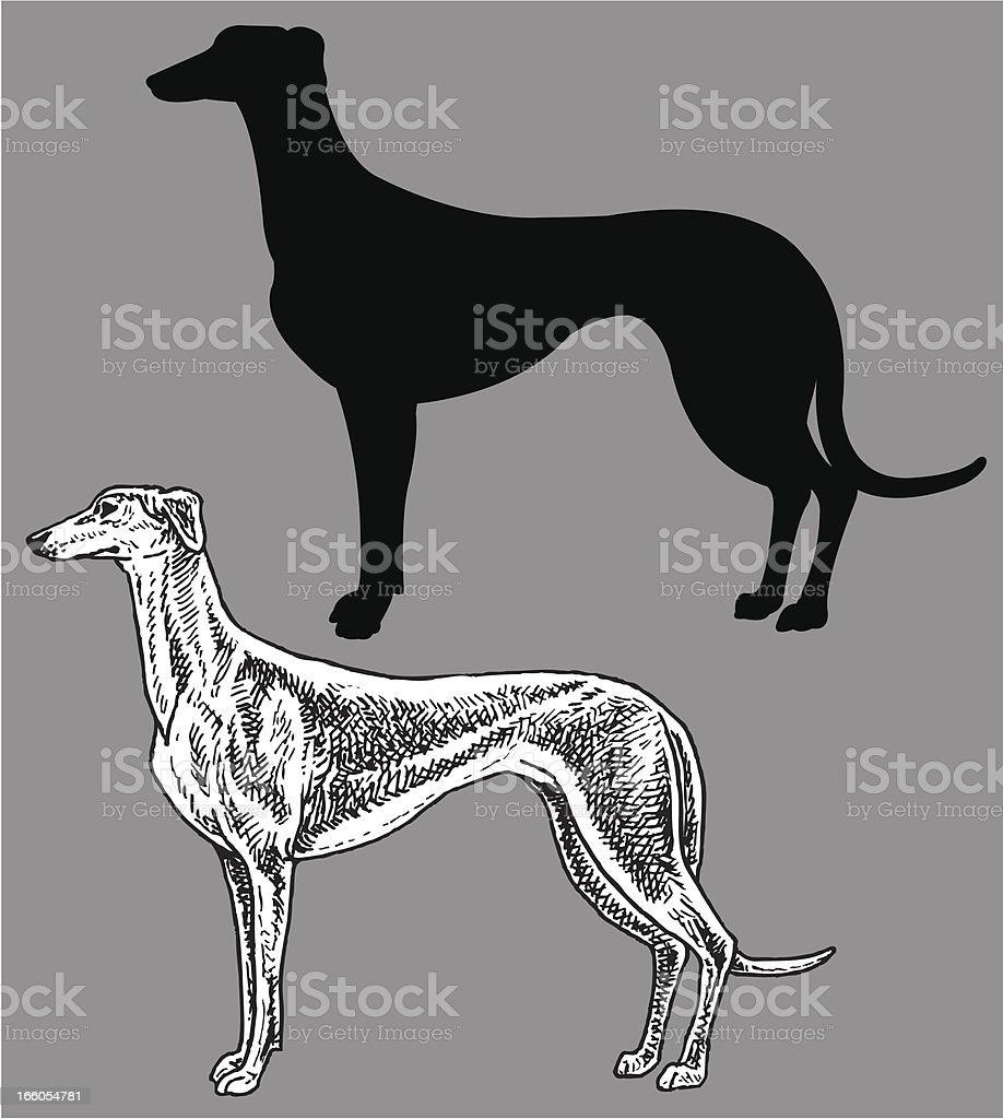 Greyhound- Dog, domestic pet vector art illustration