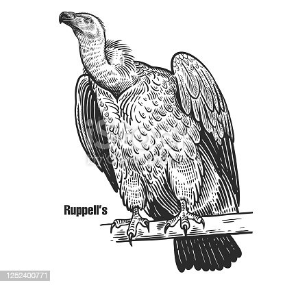 Ruppell's. Griffon vulture. Predatory bird. Black sketch of animal on a white background. Vintage engraving. Vector illustration. Isolated image. Wild life. Natural motive.