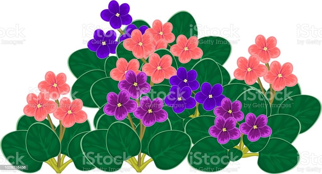 Group of flowering African violets (Saintpaulia) with flowers of different colors