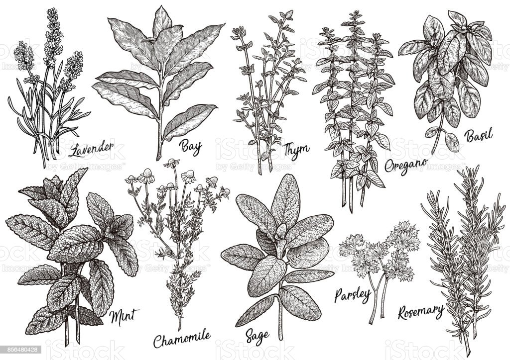 Group of herbs and spices illustration, drawing, engraving, ink, line art, vector vector art illustration