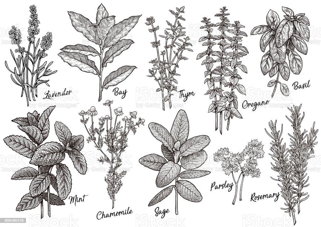 Grupo de ervas e especiarias de ilustração, desenho, gravura, tinta, linha artística, vetor - ilustração de arte em vetor