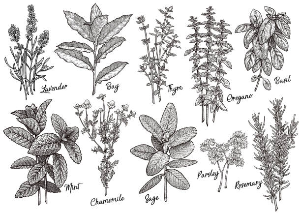group of herbs and spices illustration, drawing, engraving, ink, line art, vector - лекарственная трава stock illustrations