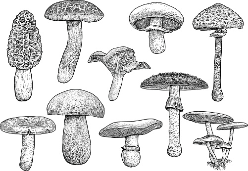 Group of mushroom illustration, drawing, engraving, vector, line