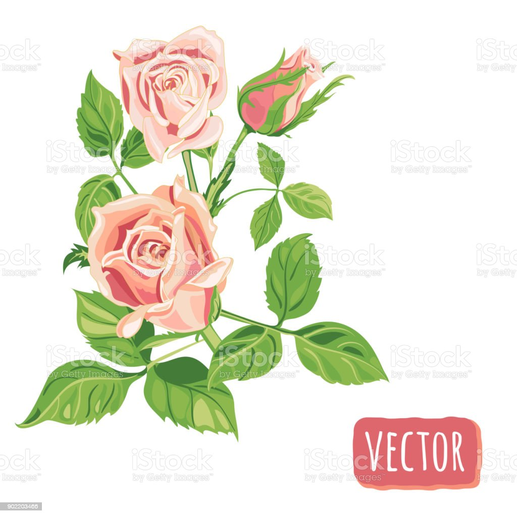 Group of roses pink flowers and bud green leaves on white background group of roses pink flowers and bud green leaves on white background digital mightylinksfo