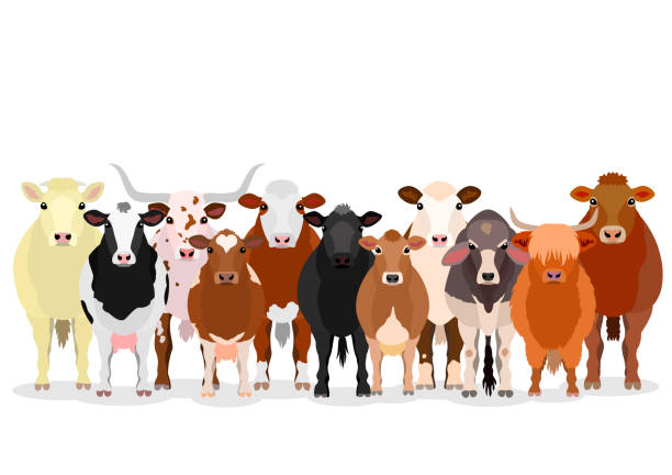 ilustrações de stock, clip art, desenhos animados e ícones de group of various cattles - beef angus