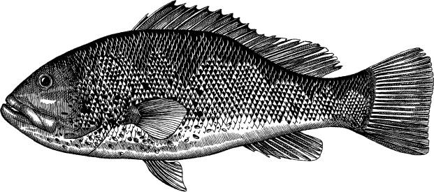 Grouper Fish Drawing