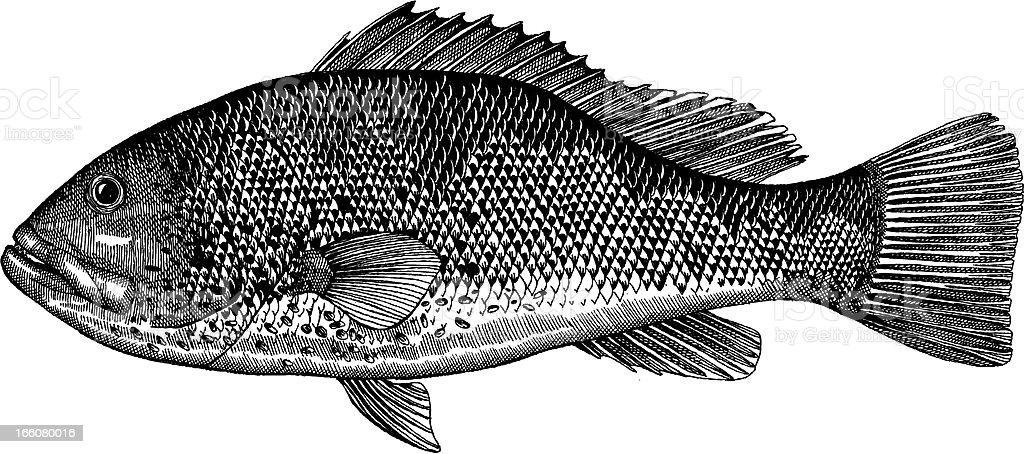 Grouper Fish Drawing vector art illustration