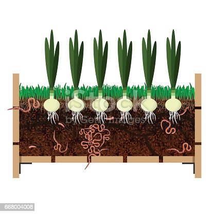 Grow onions in container. Vector illustration