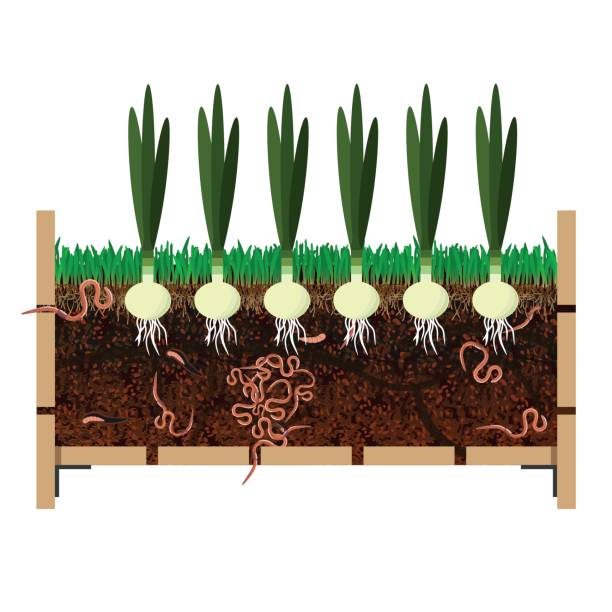 Grow onions in container Grow onions in container. Vector illustration nematode worm stock illustrations