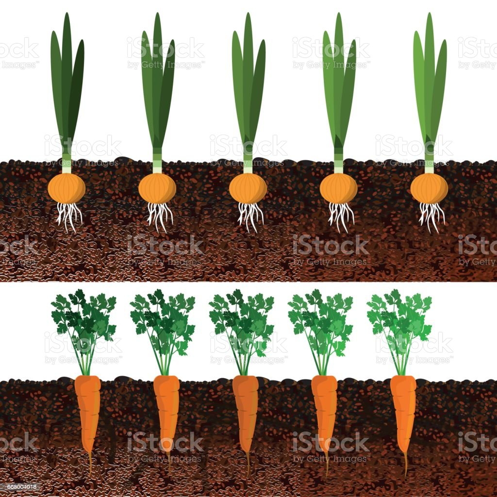 Growing onions and carrots in beds vector art illustration