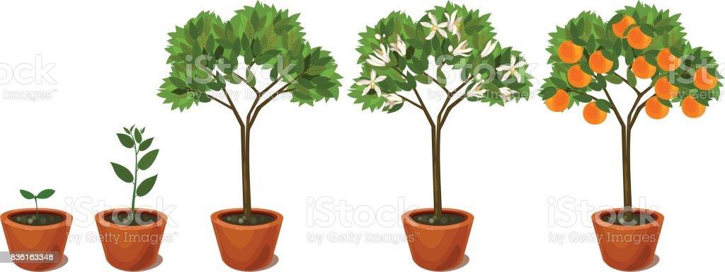 Growing Orange Tree Life Cycle Plant Stock Illustration
