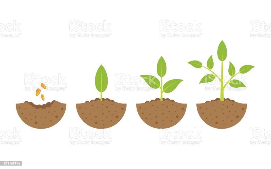 growing plant in process. on white background. vector art illustration