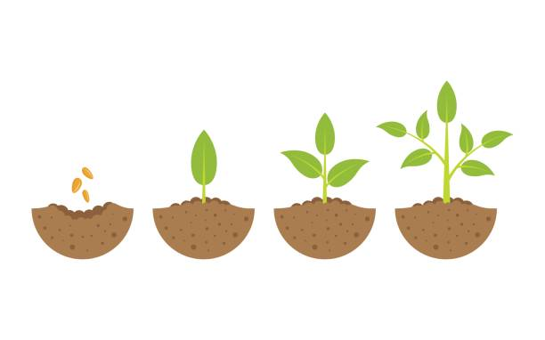 growing plant in process. on white background. growing plant in process, concept of planting process in flat design, how to grow tree from the seed in the garden easy step by step. Vector illustration seed stock illustrations