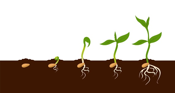 Growing plant. Sprout growth process. Steps sequence of germinating seeds for seedlings. Development of vegetables in nature, appearance of roots and leaves. Vector evolution phases set