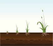 Vector illustration of a weed in various stages of growth including a cross-section of top soil with roots of weeds showing. Detail below: