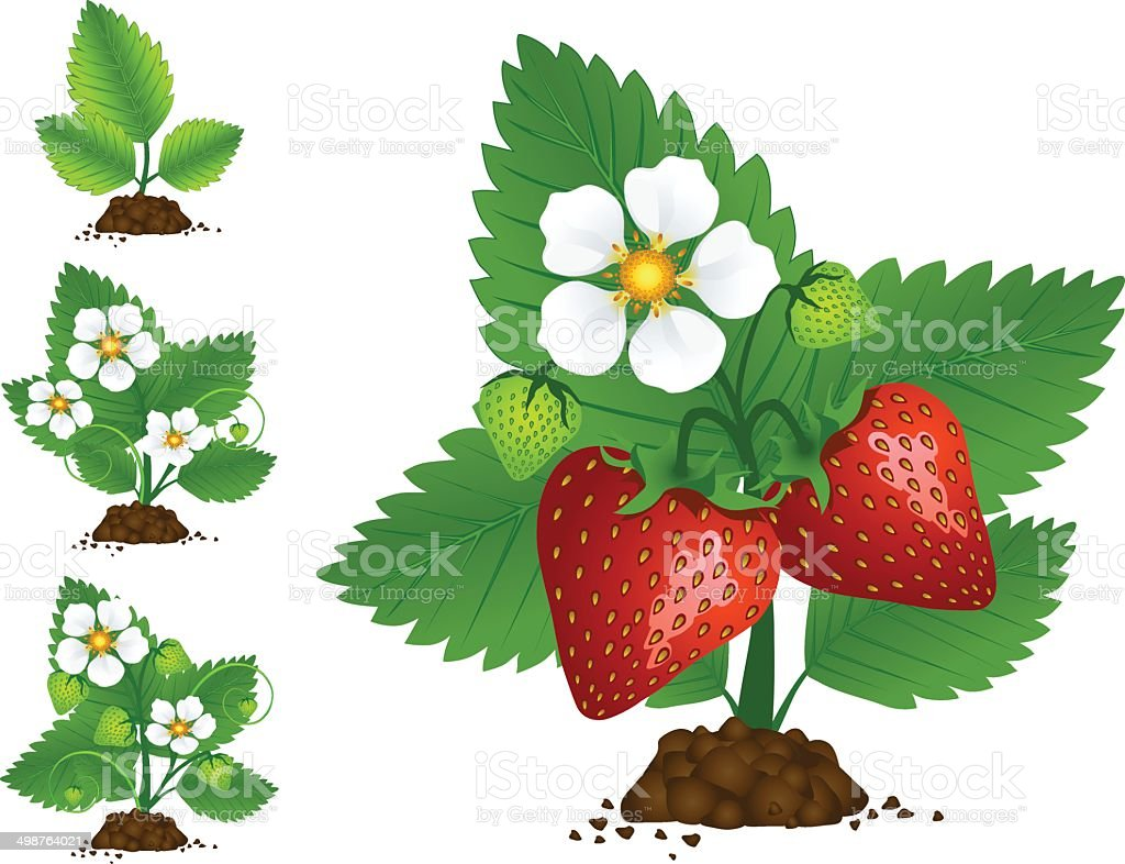 Growing Strawberry royalty-free stock vector art