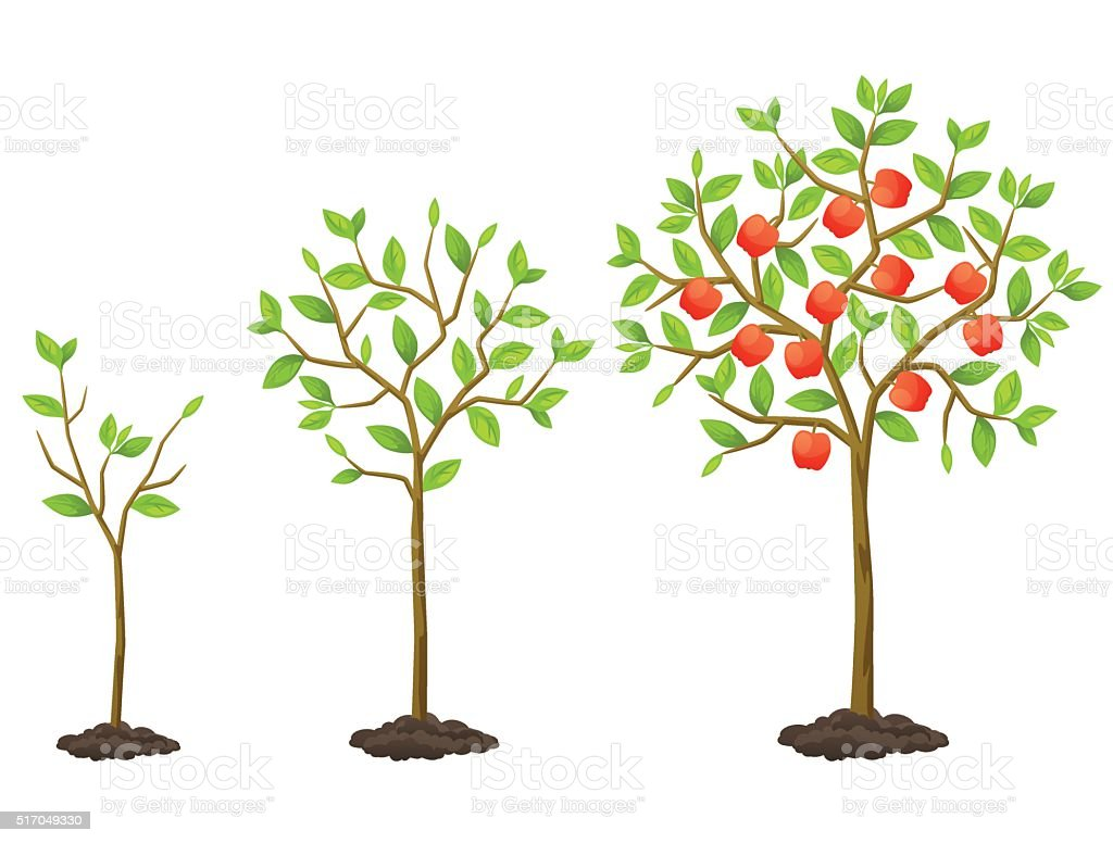 Growth cycle from seedling to fruit tree. Illustration for agricultural vector art illustration