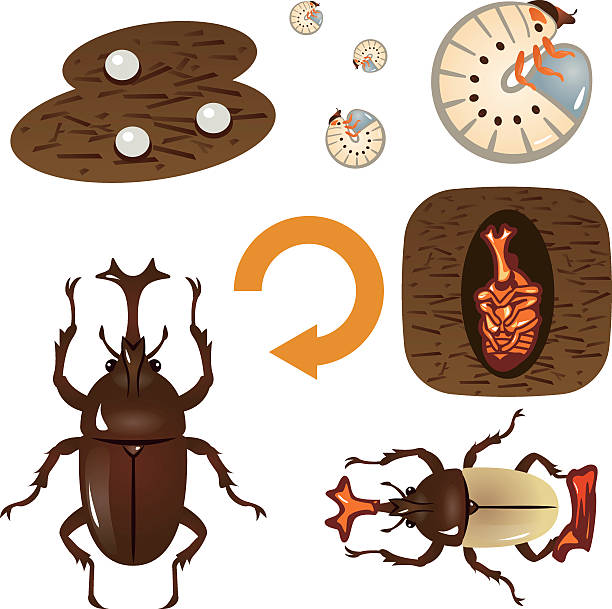 stockillustraties, clipart, cartoons en iconen met growth cycle of the beetle - bargerecht