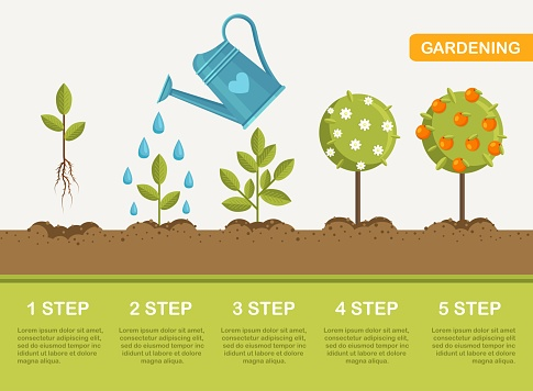 Growth of plant in ground, from sprout to fruits. Planting tree. Seedling gardening plant. Timeline. Vector illustration