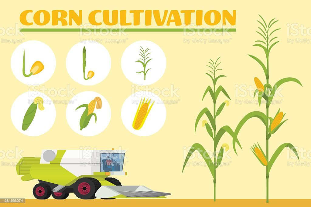 Growth stages from seed to adult plant. vector art illustration