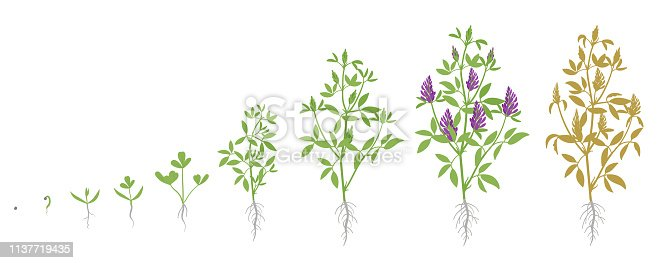 istock Growth stages of Alfalfa plant. Vector flat illustration. Medicago sativa. Lucerne grown life cycle. 1137719435