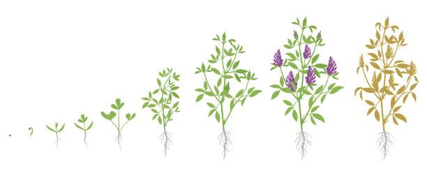 illustrazioni stock, clip art, cartoni animati e icone di tendenza di growth stages of alfalfa plant. vector flat illustration. medicago sativa. lucerne grown life cycle. - erba medica