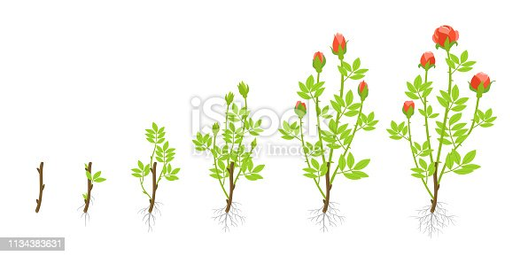 Growth stages of garden roses plant. Vector illustration. Shoots from cuttings. Rosa abyssinica rosaceae. On white background. Grown as ornamental plants in private or public gardens.