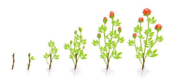 정원 장미 식물의 성장 단계. 벡터 일러스트입니다. 삽 목을 발사 합니다. 로 사 아비 시 니 카 장미과. - 관상용 식물 stock illustrations