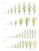 Growth stages of grain cereal agricultural crops. Cereal increase phases. Vector illustration. Secale cereale. Ripening period. Grain life cycle. On white background. The leaders worldwide production.