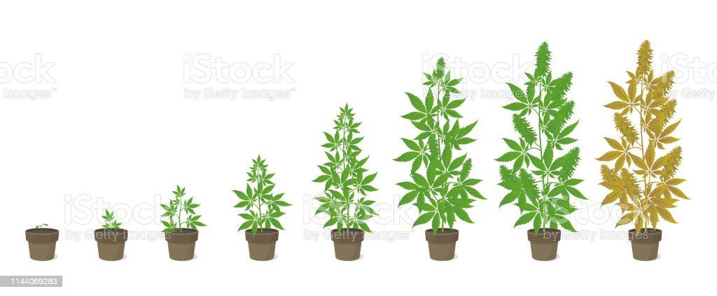 Stades De Croissance De La Plante En Pot De Chanvre Phases