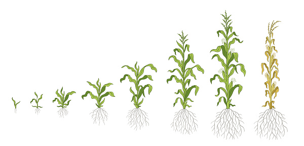 Growth stages of Maize plant. Corn development phases. Zea mays. Ripening period. The life cycle. Infographic set. Harvest animation progression. Vector.