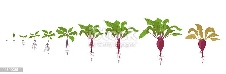 Sugar beet plant. Growth stages. Vector illustration. Beta vulgaris subsp. Taproot life cycle. Flat color drawing on white background. Also known as the table beet, garden beet, red beet or golden beet.