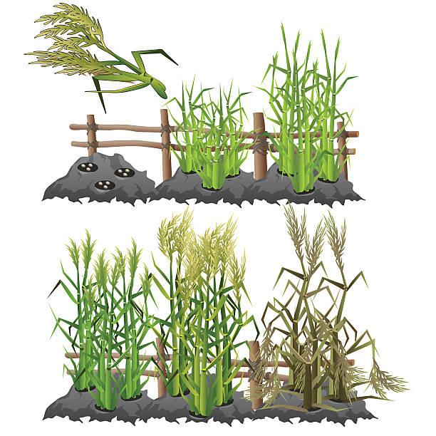 illustrazioni stock, clip art, cartoni animati e icone di tendenza di fasi di crescita di canna da zucchero, l'agricoltura, vettoriale - canna da zucchero