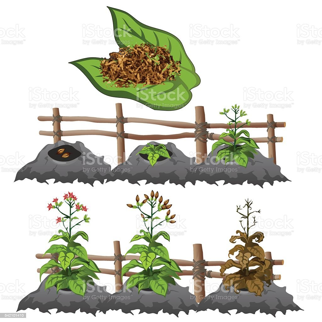 Growth stages of tobacco, agriculture, vector vector art illustration