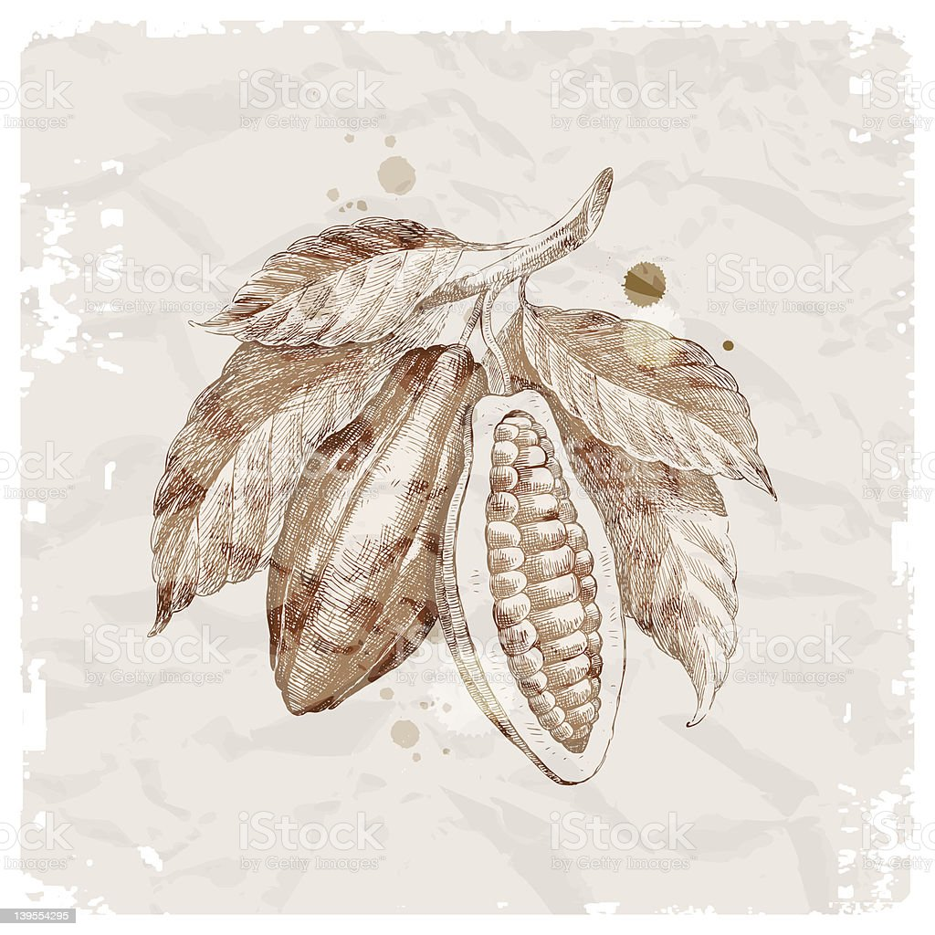 Grunge vector illustration - hand drawn cocoa beans on branch vector art illustration
