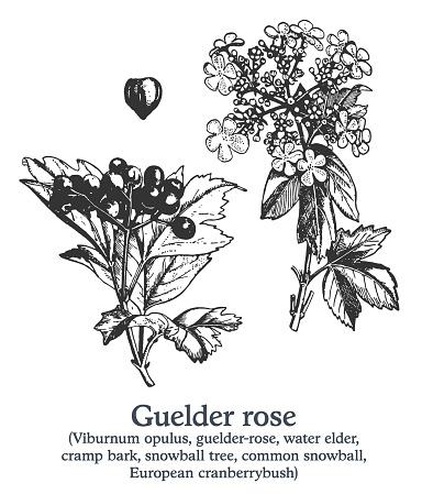 Guelder rose . Vector hand drawn plant. Vintage medicinal plant sketch.