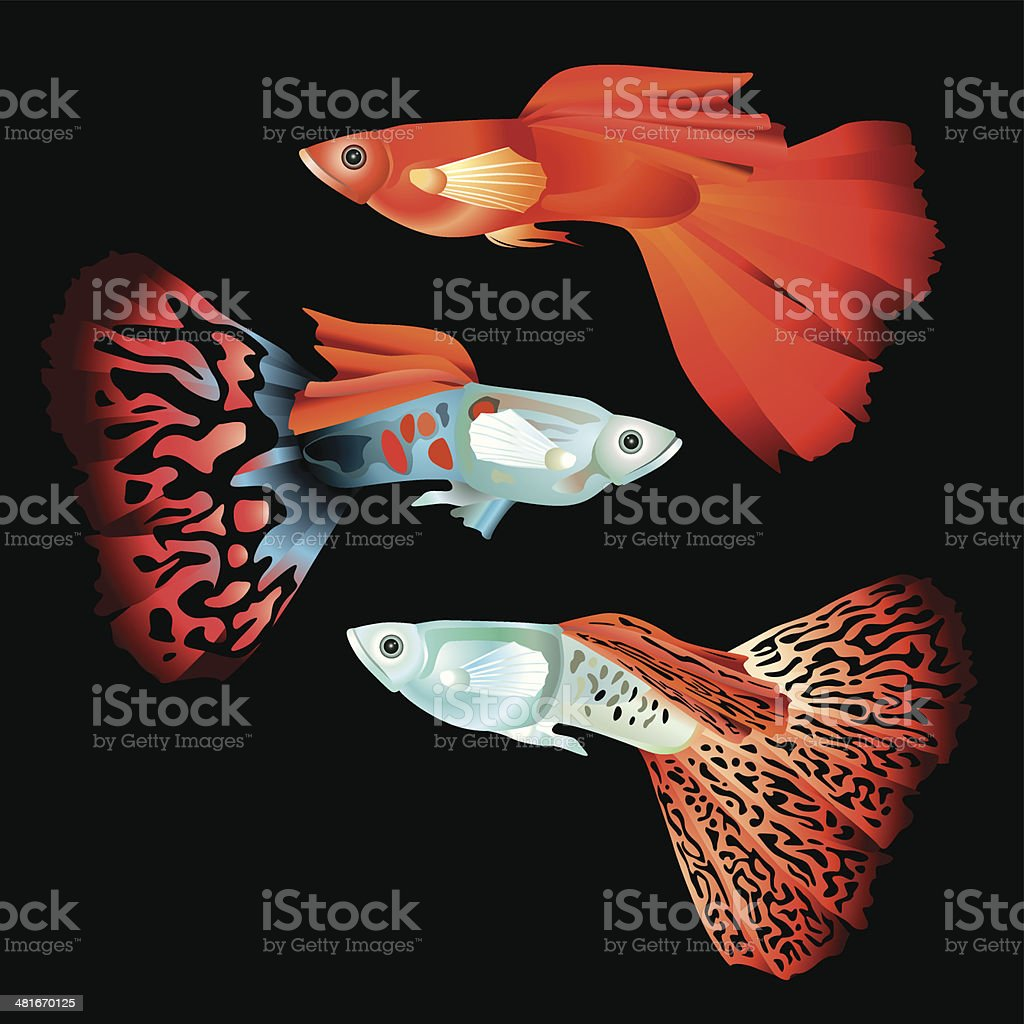 Guppy Fish Stock Vector Art & More Images of Animal 481670125 | iStock