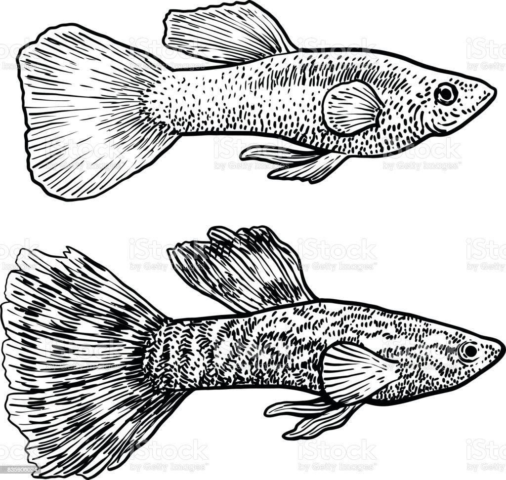 guppy illustration drawing engraving ink line art vector stock