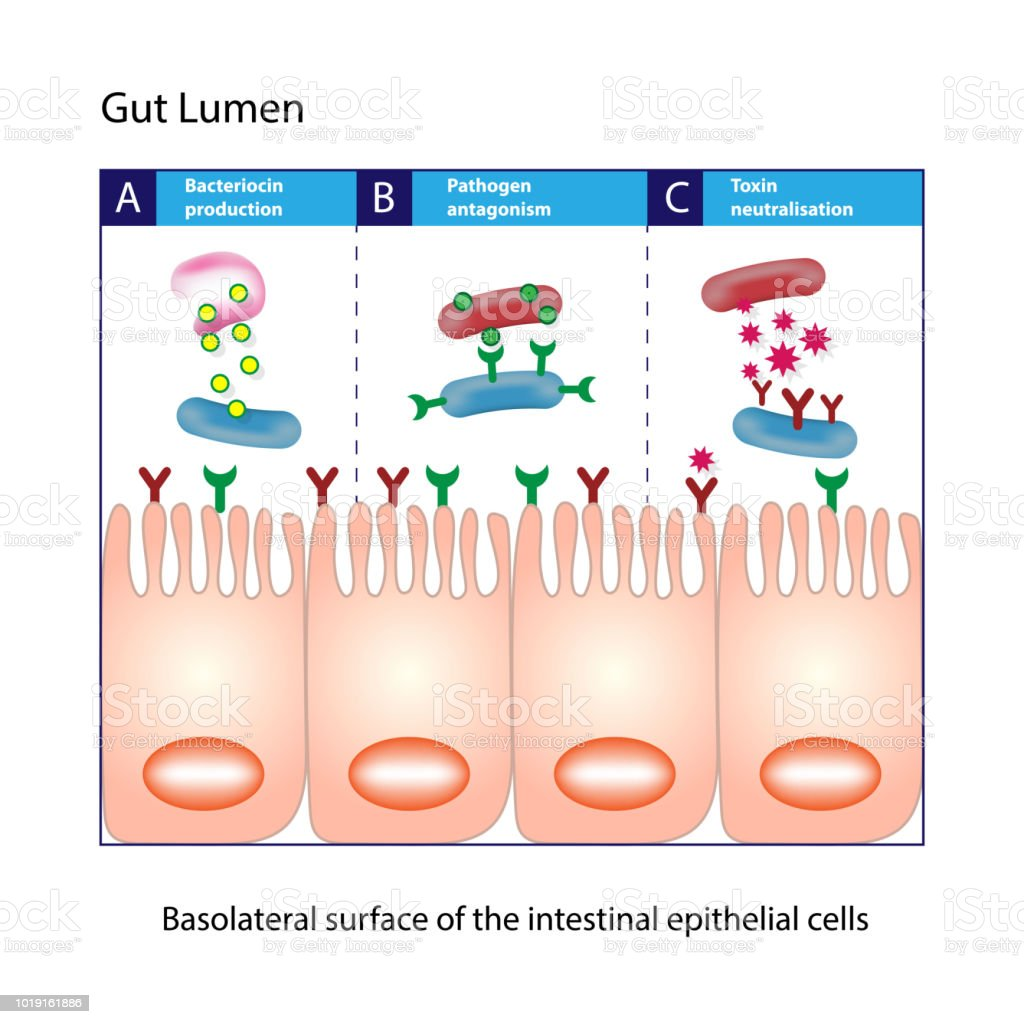 Gut Lumen Columnar Intestinal Epithelial Cells Scheme Stock Vector ...