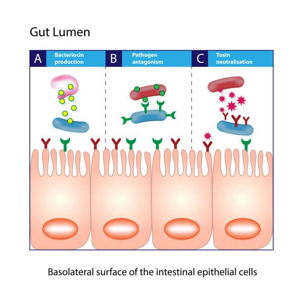 darm lumen. säulenförmigen intestinale epithelzellen schema - enzyme stoffwechsel stock-grafiken, -clipart, -cartoons und -symbole