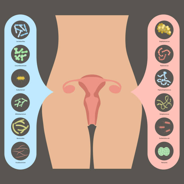 Gynecology Vector illustration Gynecology Vector illustration. Womans vaginal flora or microbiota in vagina, Good and Bad Bacteria hormone stock illustrations